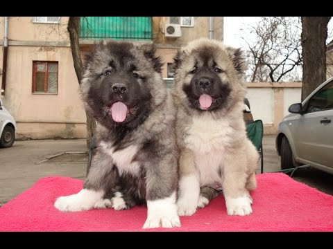 ОЧЕНЬ МОЩНЫЕ Щенки Кавказской овчарки 2 мес. Puppies Caucasian Shepherd.Odessa.