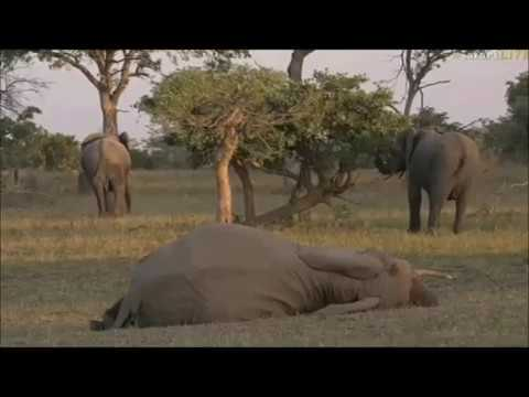 Safari Live : Fang one of our favorite Elephant Matriarch\'s not feeling well May 27, 2017
