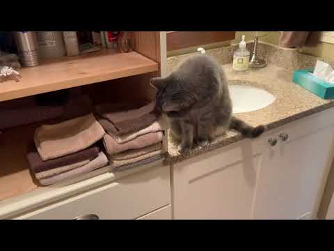 Cat Throws Stack of Hand Towels on the Floor - 1021442