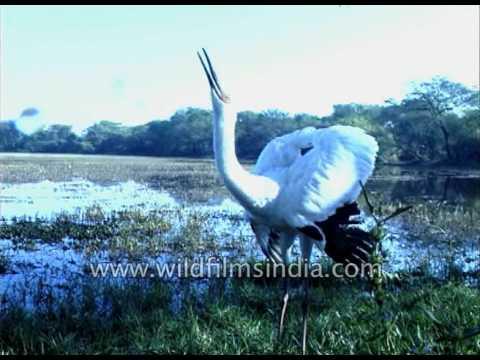 Siberian Crane calling loudly at Keoladeo National park, before abandoning India