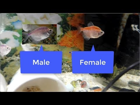 How To Tell Deference Between Male And Female White Tetra Fish
