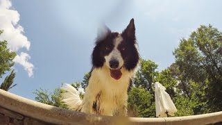 Border Collie Attacks the Pool