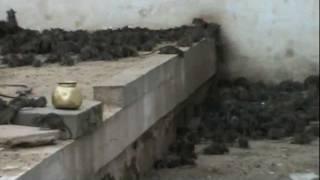 Rat temple en KARNI MATA - templo de las ratas - india