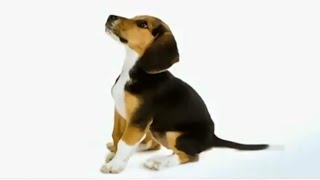 Dog Facts 101 - Beagle