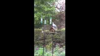 The Wood Pigeon V The Bird Feeders