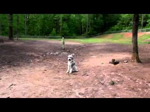 Aussie Doodle, Off Leash Recall, Place, Heel and Sit - Dog Trainer