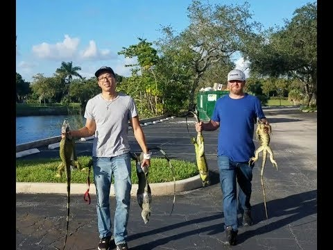 It's OPEN HUNTING SEASON For Florida Green Iguanas