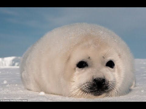 Seal Hunt Record Ice, Whale Hunt Months Early & Arctic Anomalies (538)