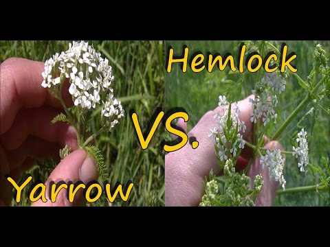 Poison Hemlock Identification and Yarrow Comparison