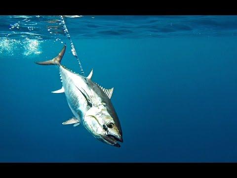 How To: Troll Harness Jigs for Bluefin Tuna by Hogy