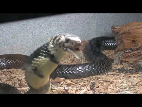Mr Forest Cobra, Feeding Taipans, And Echis Away