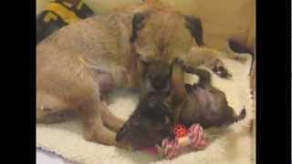Border Terrier Singleton Pup