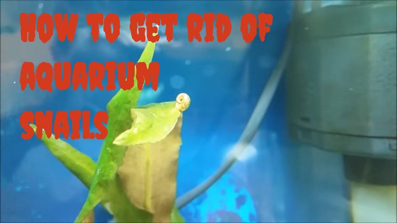 how to make diy aquarium snail trap common aquarium snails and how to get rid of aquarium. Black Bedroom Furniture Sets. Home Design Ideas