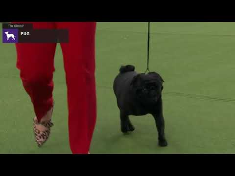 Pugs | Breed Judging 2020
