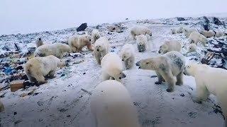 видео: На Новой Земле местные жители публикуют видео массового нашествия белых медведей