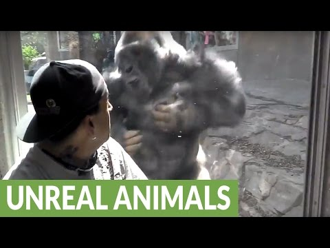 Omaha Zoo Silverback Gorilla repeatedly attacks visitors