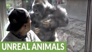 Omaha Zoo Silverback Gorilla repeatedly attacks visitors