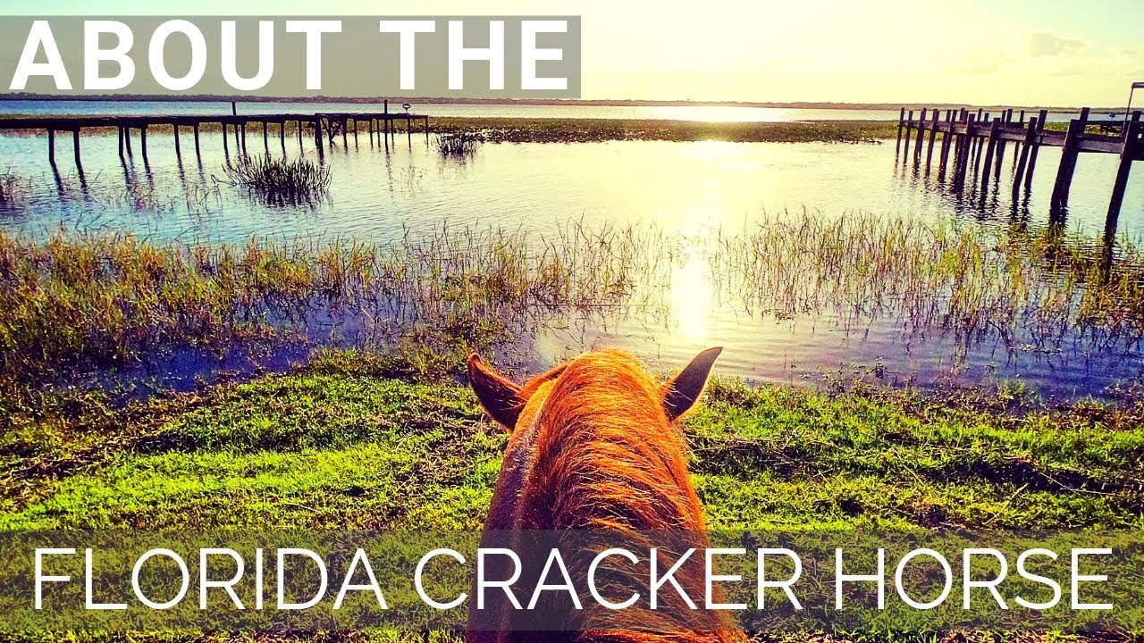 Florida Cracker Horse Discover The Horse