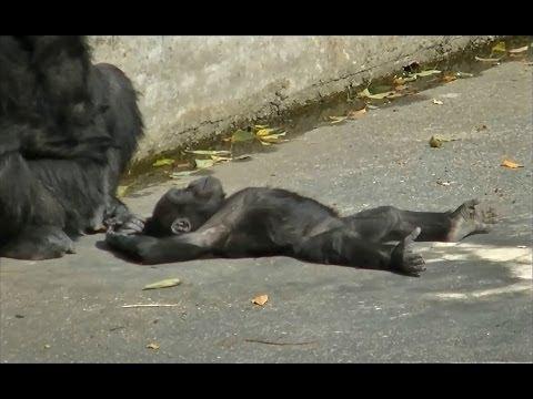 ゴリラの赤ちゃん 名前はキヨマサ (胸をポコポコ & おっぱいを飲む様子など) / 東山動物園