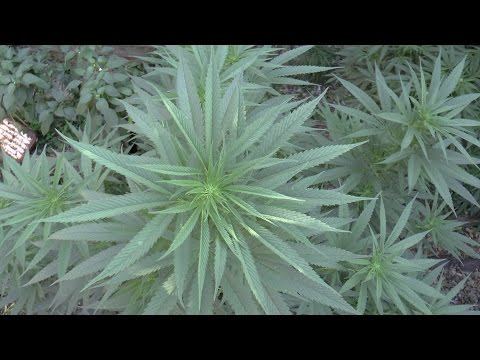 High CBD Strains, its about all of the cannabinoids