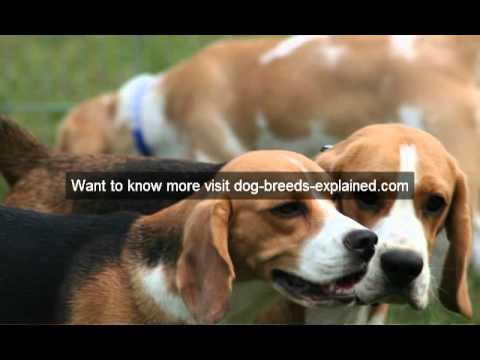 Beagle Dog Breed Video