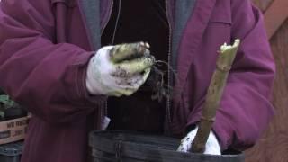 Gardening Tips : Planting Dahlia Bulbs