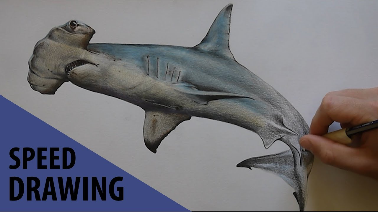 Dessin d 39 un requin marteau l 39 avis des b tes 2 - Dessin de marteau ...