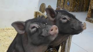 Мини Свинки улыбаются!