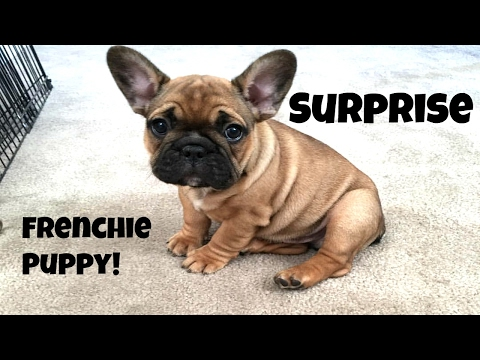 I Bought a French Bulldog Puppy! VLOG 3