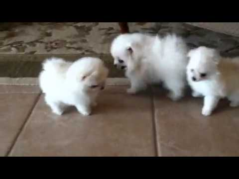 White Pomeranian Puppies For Sale Youtube