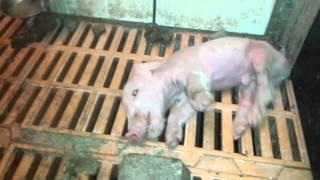 Polska ferma świń 2014