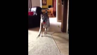 Henry the Boxer Plays Fetch and Slam