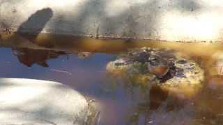 Colirrojo real esp/ Cotxa cua roja cat./ Redstart ing. (Phoenicurus phoenicurus)