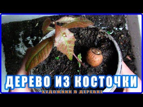 Павлония и Редкое дерево из семян + Яблоня из косточки и Дуб из желудя Огород на подоконнике