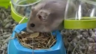 HAMSTERS - Preparing the hamster