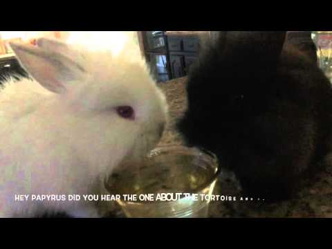 thirsty-lionhead-rabbits-get-back-to-their-roots-(bunnies-drinking)