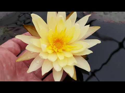 Первое цветение нимфеи в питомнике Waterlilia.ru 29.03.20 г. порадовала нимфея Pinwaree!
