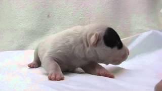 かわいいミニチュアブルテリアの子犬が生まれました!優良ブリーダーか...