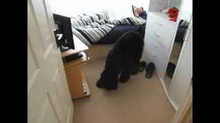 Black Russian Terrier Alarm Clock (Pumbaa)
