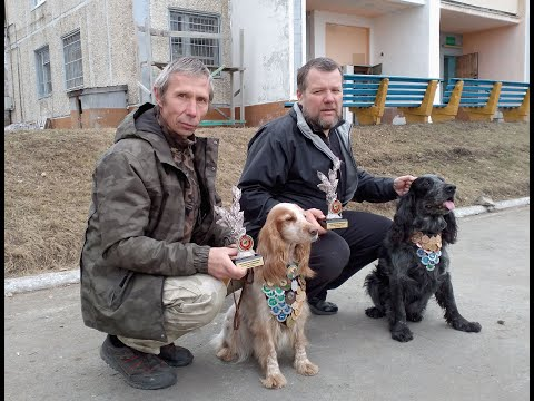 Русский охотничий спаниель Обл. Выставка 2019 Екатеринбург