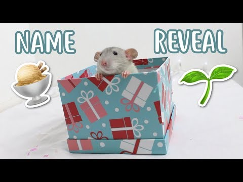 🌱 BABY RATS NAME REVEAL 🍨