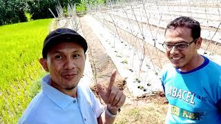 Ep. 01. Kisah inspirasi petani milenial Jepara. Melon Golden Apollo Untungnya bikin ngiler