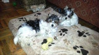 Biewer-yorkshire-terrier Welpen (06.12.13)