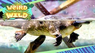 PLATYPUS: The Weirdest Animal on Earth | WEIRD IN THE WILD