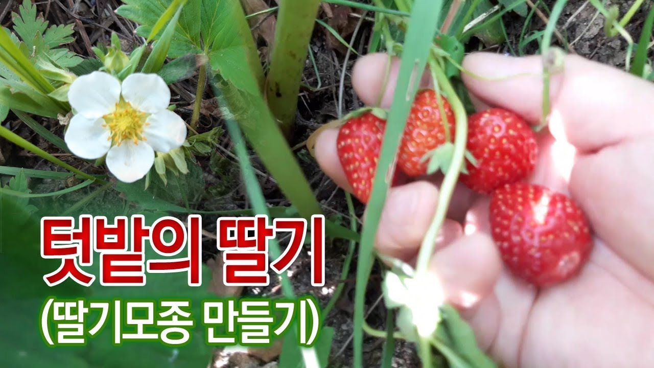 텃밭의 딸기, 딸기모종 만들기, 딸기 번식법