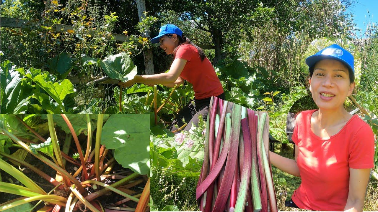 เก็บผักในสวน(รูบาร์บ) ปอกชิมจากกอ/รีบๆเกิดปีละครั้ง มะยมฝรั่งกับสตรอว์เบอร์รี่กำลังงาม#Thai lady