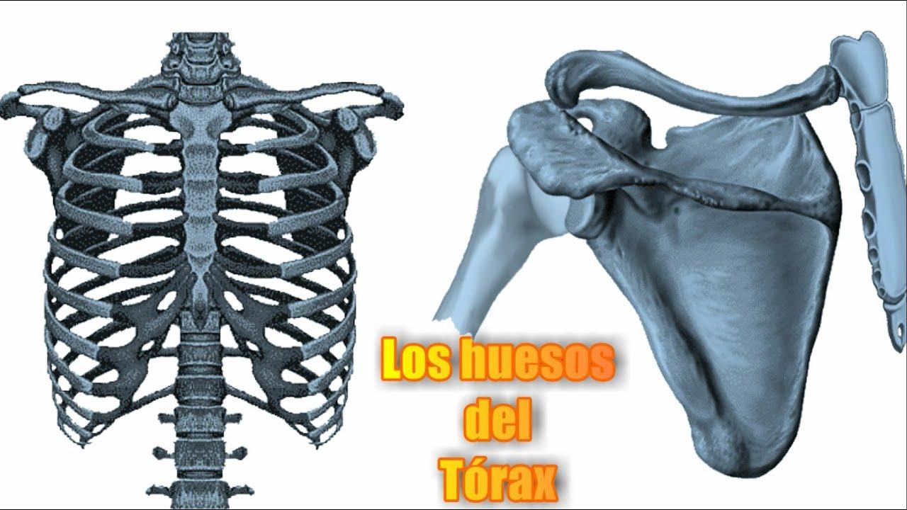 Esqueleto del Tórax humano – Huesos del Tórax – Qué huesos forman el ...