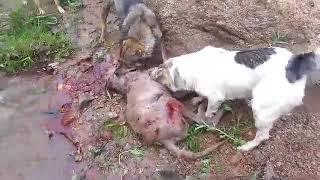 Нападение волк собака