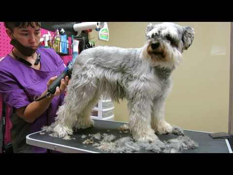Snickers Matted Schnauzer Video 1 of 4