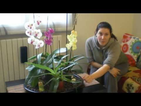 Le mie orchidee youtube for Manutenzione orchidee in vaso